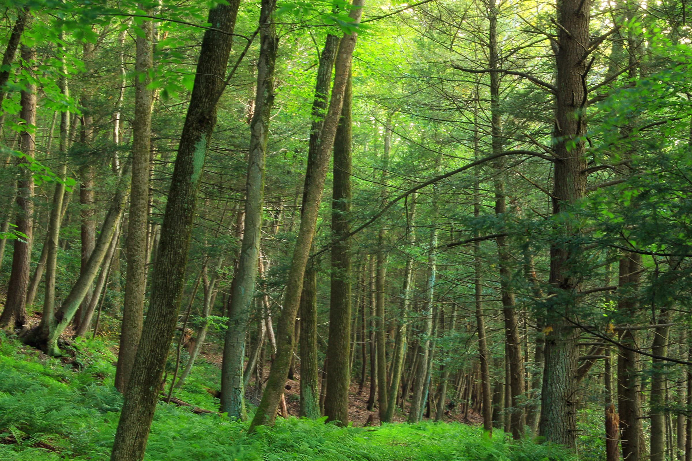 Factors Threatening the Appalachian Hemlock