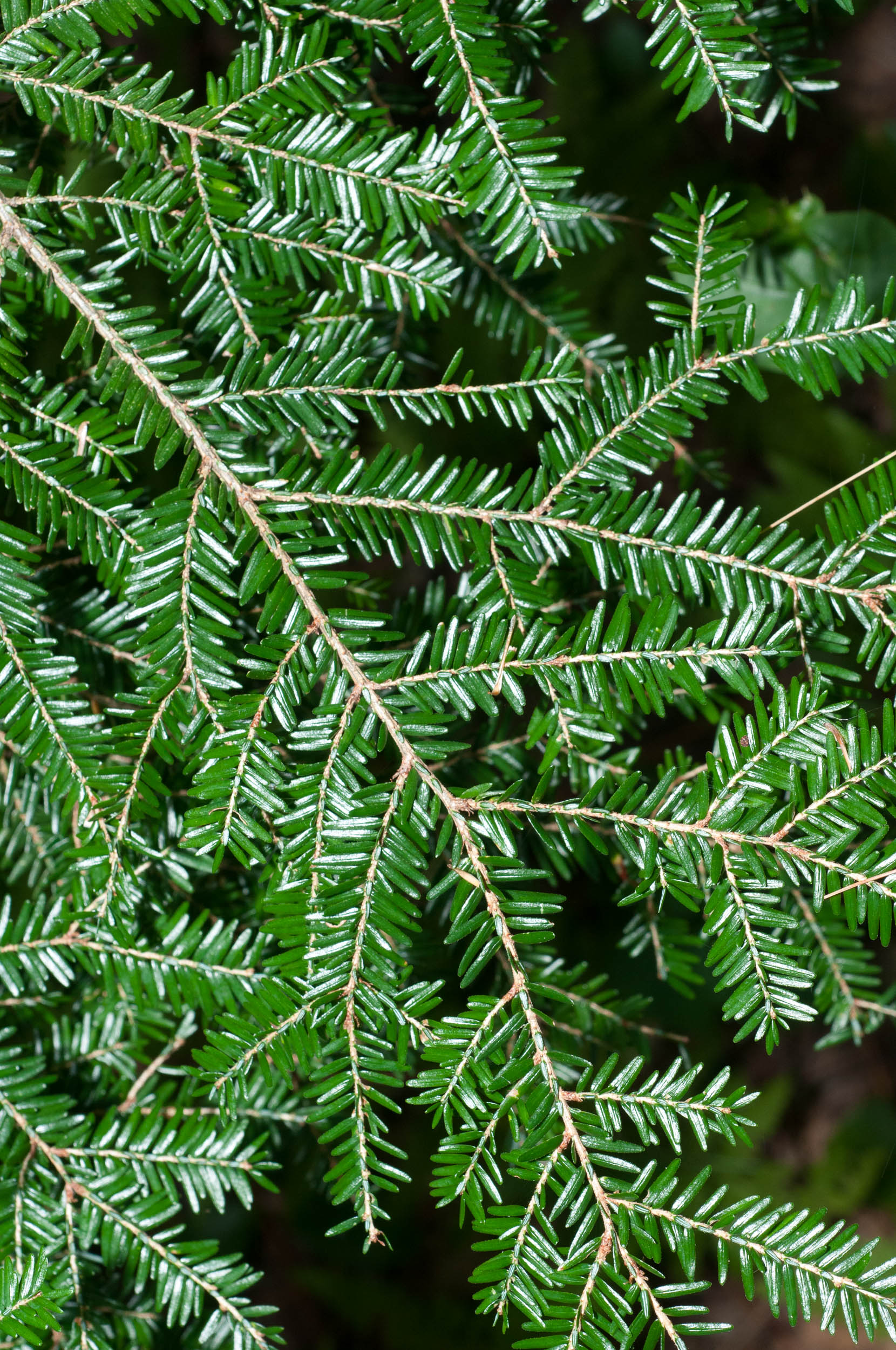 About the Hemlock Restoration Initiative