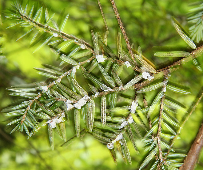 The Woolly Adelgid