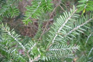 The Hemlock Woolly Adelgid Is (Still) On The Move