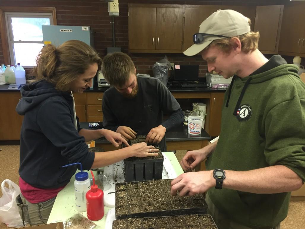 Planting hemlock sprouts