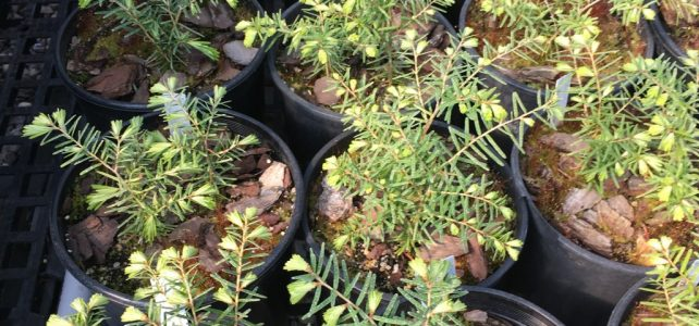 First sprouts: N.C. Forest Service grows hemlock seedlings