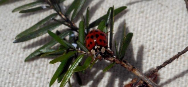 Ladybug Bycatch in Beetle Monitoring