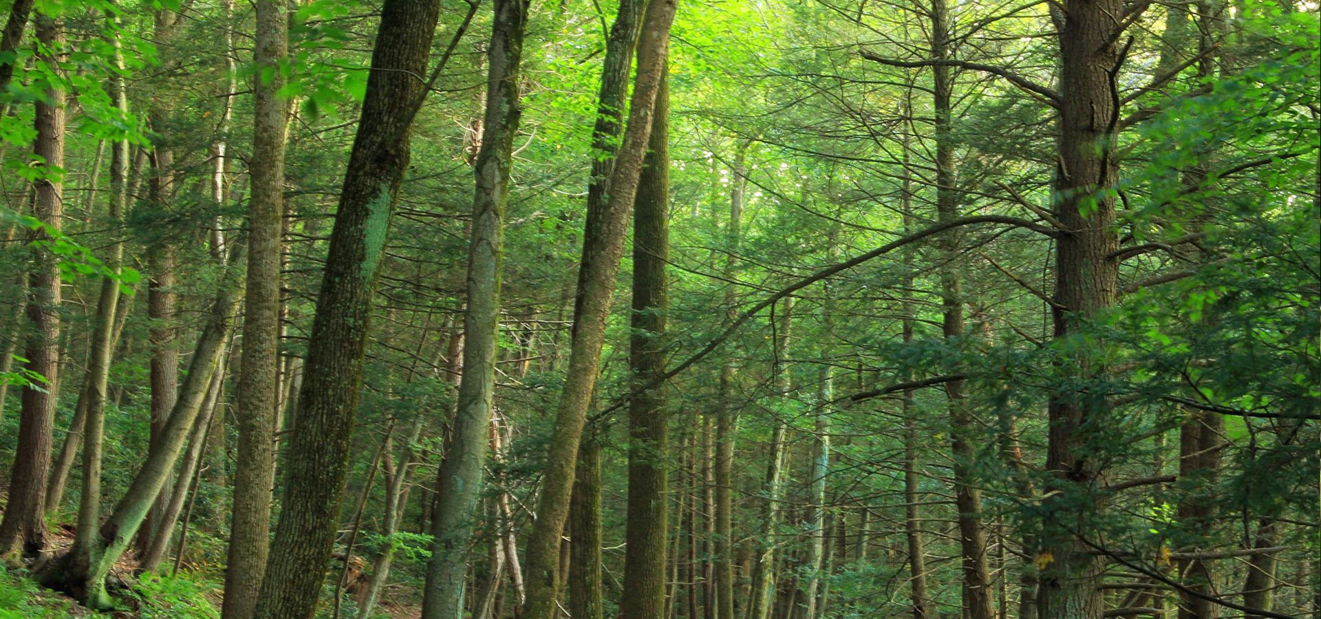 Saving the Hemlocks