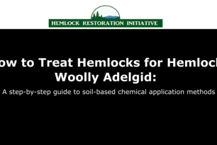 How to Treat Hemlocks for Hemlock Woolly Adelgid: A step-by-step guide to soil-based application methods
